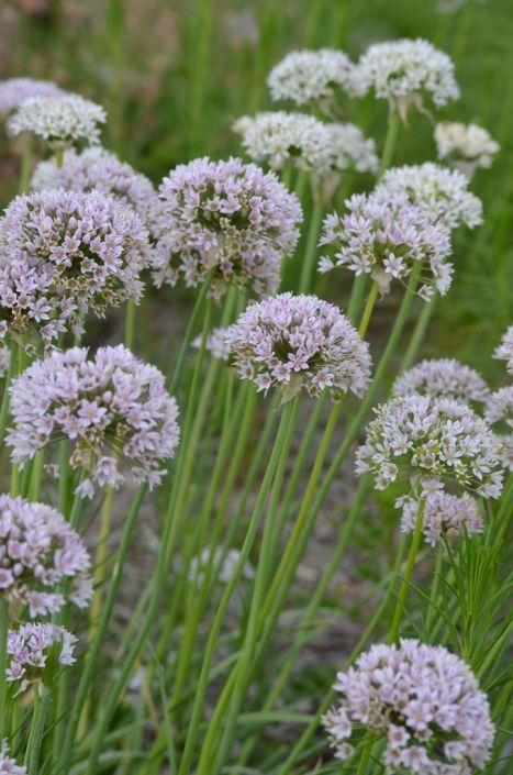 Allium Canadense Var Lavendulare Showy Wild Garlic Boasts A Large Cluster Of White To