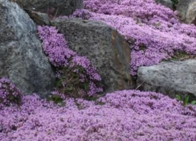 Creeping Thyme is the ideal groundcover for the gardener that wants it all – utility, color, and even a lemony fragrance! A diminutive flower that grows usually no more than ½ a foot tall, Creeping Thyme is the ultimate low-maintenance perennial.