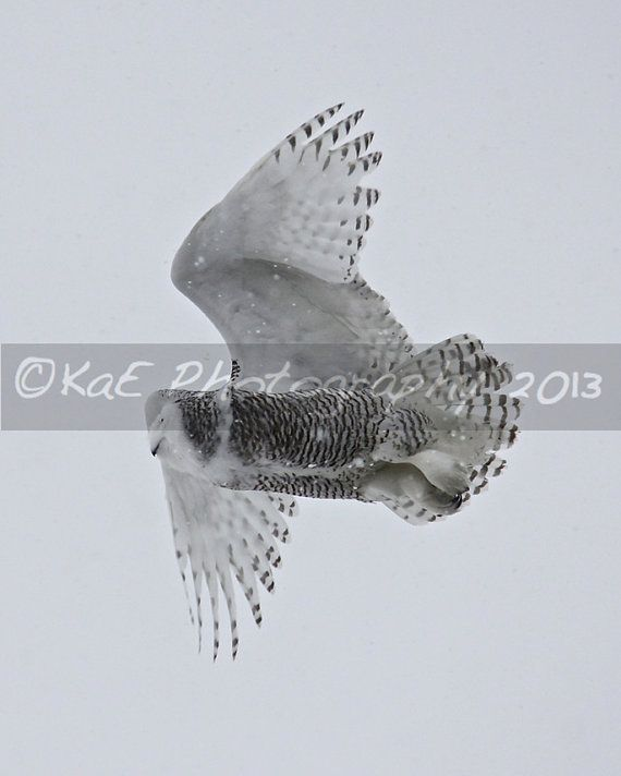 Just added a new photo to my store gallery. Snowy Owl by KaEPhotography on Etsy