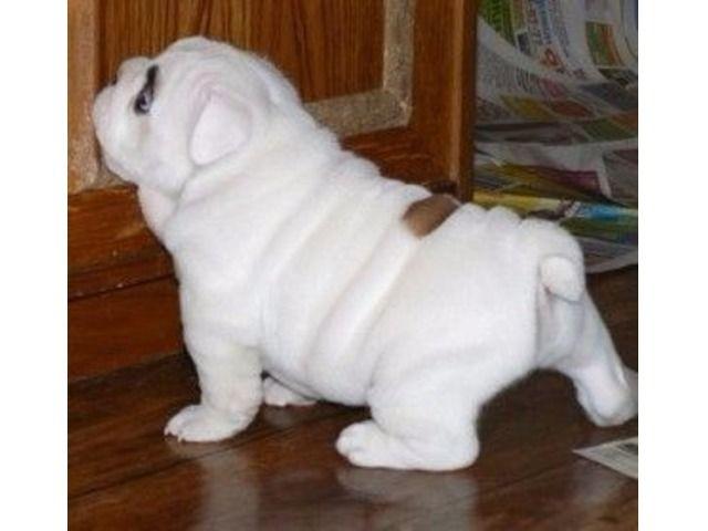 Magnificent English Bulldog English Bulldog Puppies Bulldog