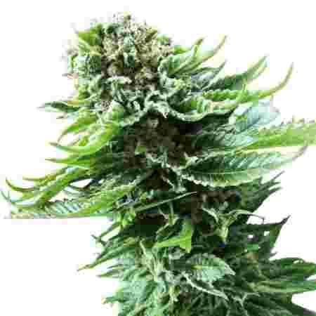 northern-lights-automatic-seeds, Autoflowering Cannabis seeds