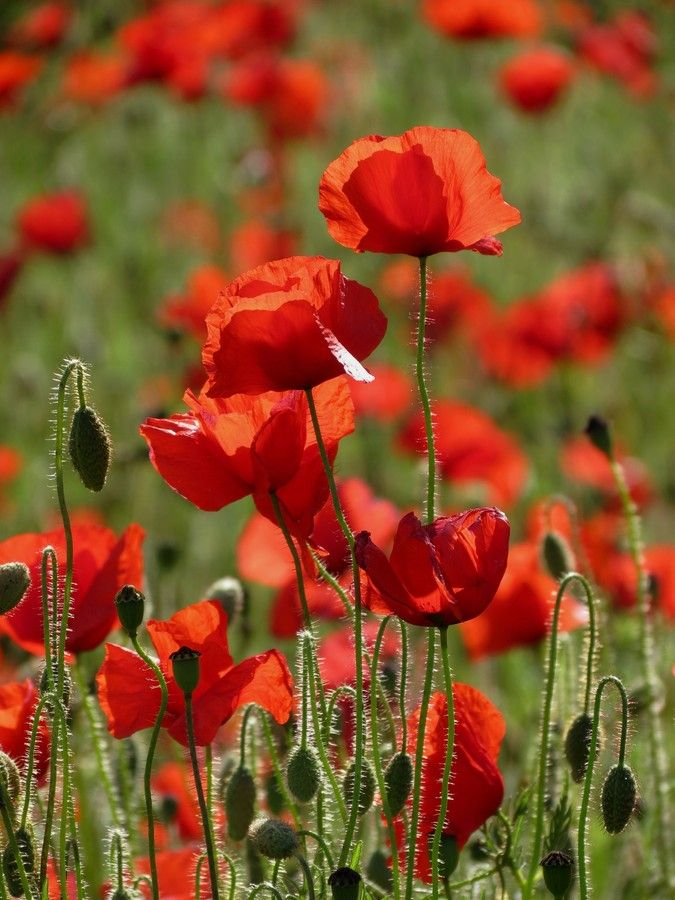 Sunlight and poppies by susan potter