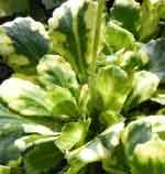 Saxifraga x urbium 'Variegata' Pot size: 1 Litre Plant size: 15cm (6in) Growing condition: Partial - full shade Flowering season: May to June  A variegated (yellow splashed) form of the easy London Pride.  Price: £4.80