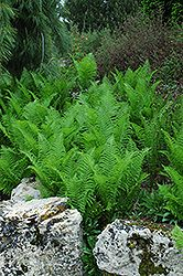 Click to view large photo of Ostrich Fern (Matteuccia strutheriopteris) at Stein Gardens & Gifts