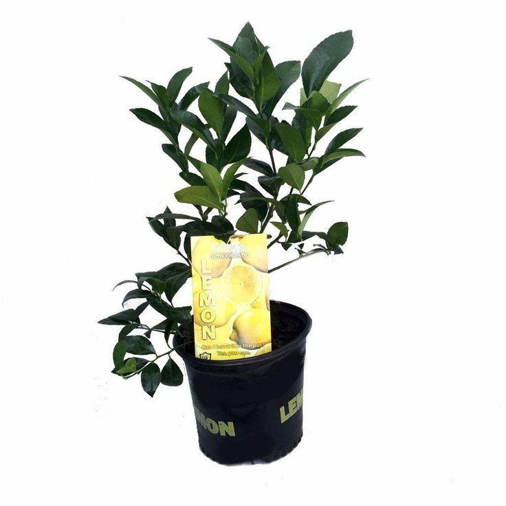 "Meyer Lemon Tree Fruiting Plant 8"" Pot Indoors Outdoor Garden Houseplant NEW"