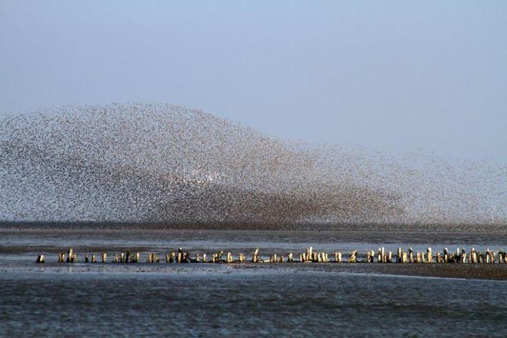 Sandpipers migration in the Wadden Sea National Park near Ribe in Denmark. Photo: Gudrun Rishede, Danhostel Ribe