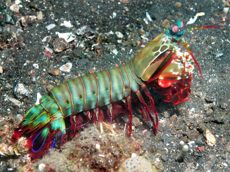 Mantis Shrimp (Stomatopoda) like Smashing and Spearing Mantis Shrimps / Fangschreckenkrebsen (Stomatopoda) wie Schmetterer und Speerer Heuschreckenkrebse