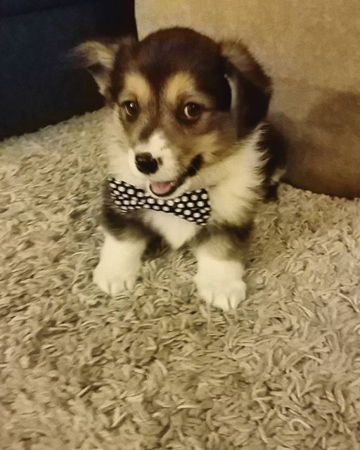 Corgi pup is handsome and he knows it http://ift.tt/2ohmPB1