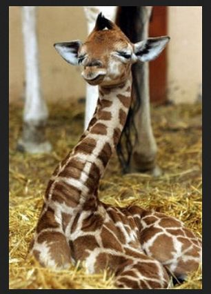 111 best giraffe images on Pinterest Giraffes, Baby puppies and