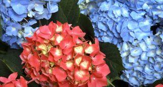 Plantación de hortensias