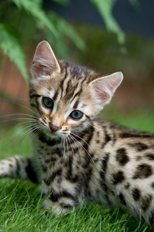 Bengal kittens! Next time I get a cat I'm going to spend the $$ cause they are SO cool looking