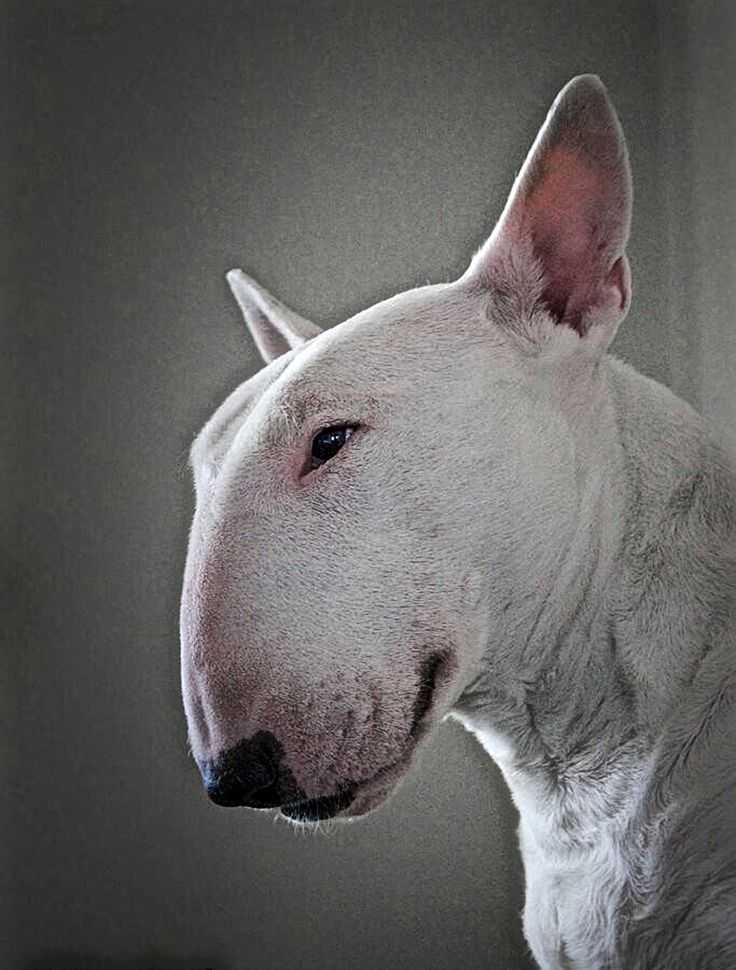 Bull Terrier Profile