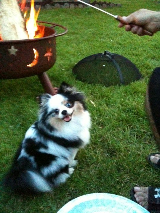 Search Pommy Girls on Facebook to see Bella! . . . Blue Merle Pomeranian