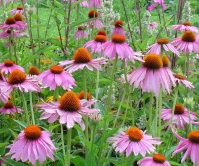 Echinacea: Medicine Plants, Herbal Remedies, Herbs, Perennials Gardens, Beautiful Tips, Common Cold, Purple Flower, Cut Flower, Echinacea Purpurea