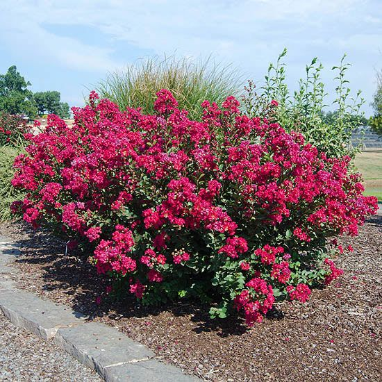 229 best images about trees crepe myrtle on pinterest for Flowering dwarf trees for landscaping