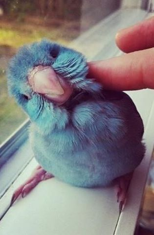 Everybody loves a good cheek rub. Everybody. But this little blue parakeet in particular.