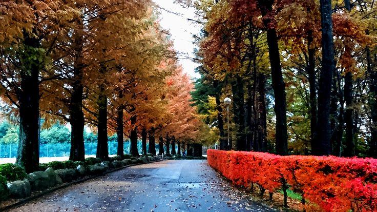 キッセイ薬品工業株式会社第二研究所前のメタセコイア並木の黄葉とドウダンツツジの紅葉