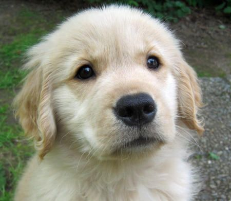 I'm not a dog person, but I've always liked Golden Retrievers.  Sophie the Golden Retriever