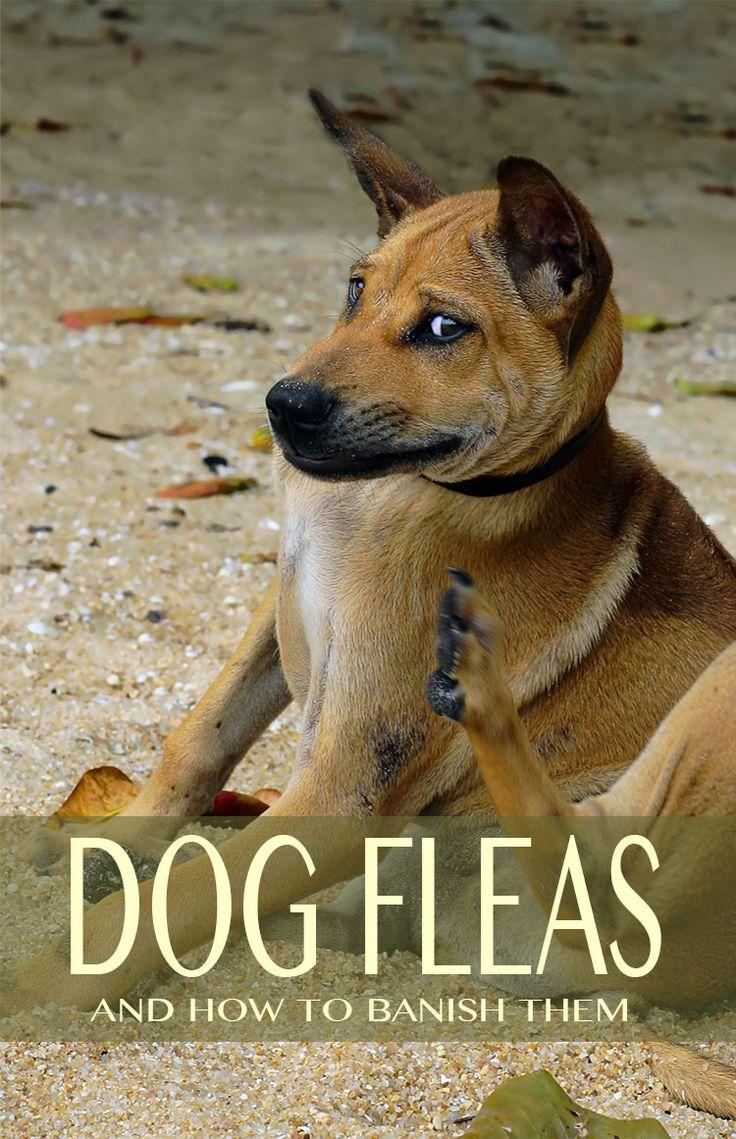 Can Fleas Make A Dog Sick