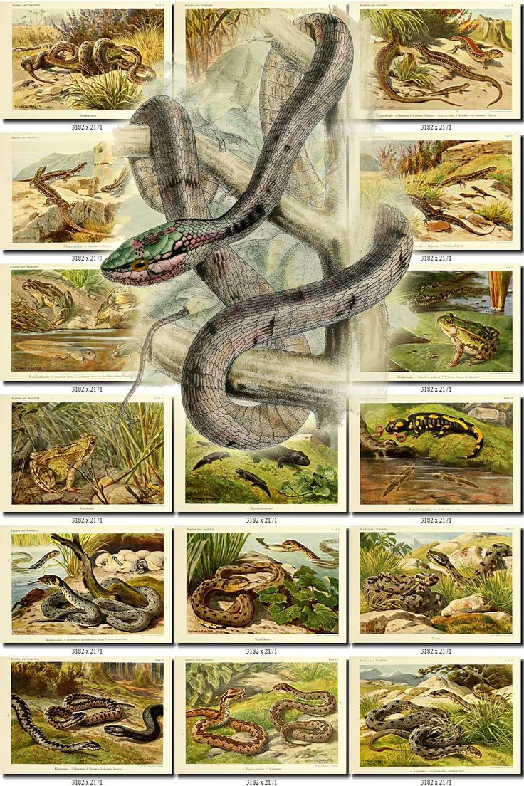 REPTILES & AMPHIBIAS-25 Collection of 281 vintage images animals Lizards Triton Chameleon Snakes Caiman digital download printable pictures by ArtVintages on Etsy