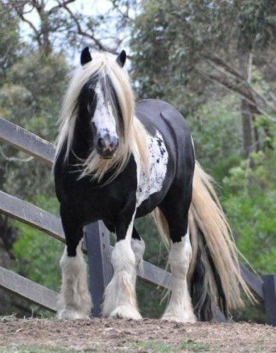 Gypsy Cobs for Sale - Australia