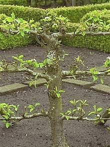 Use double-U cordons to grow fruit in small spaces