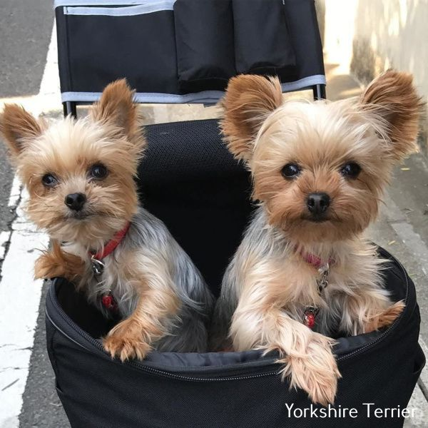 Yorkshire Terrier Pelo Largo Yorkshire Terrier Puppies Yorkshire Terrier Dog Cute Animals