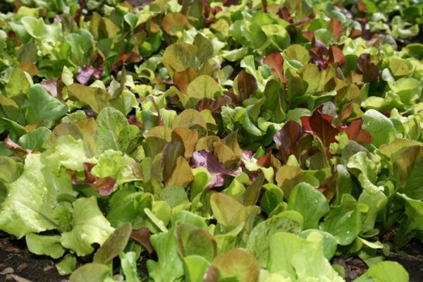 Lettuce planting tips for beginning gardeners. | Lettuce is an easy crop for your first garden. Learn when to plant lettuce with these planting tips from GoGardenGo #gardening #lettuce #vegetables