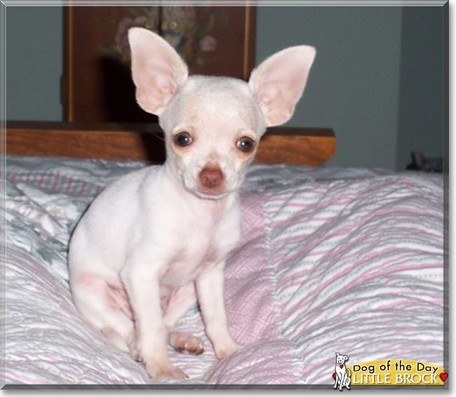 Little Brock The Chihuahua The Dog Of The Day Chihuahua Big Dogs Small Puppies