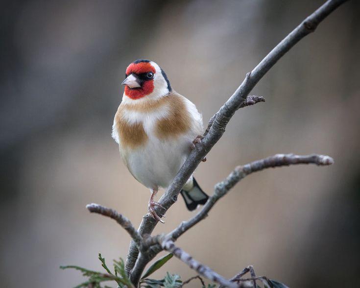 European Goldfinch by Ciaran Murphy on 500px Jilguero