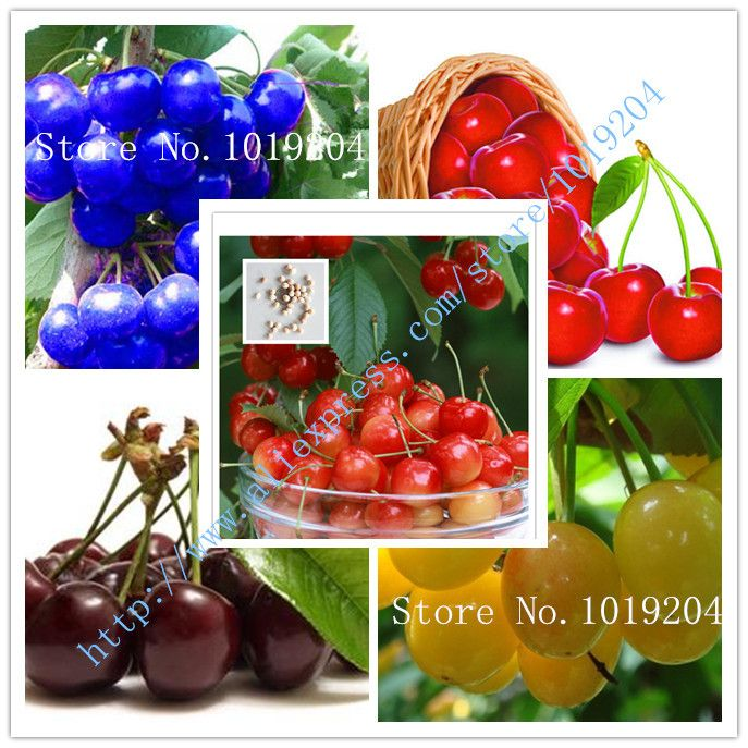Blue Cherry Fruit Popular Cherry Varieties Buy Cheap Cherry Varieties Lots From China Cherry Varieties Suppliers Cherry Fruit Blue Cherry Cherry