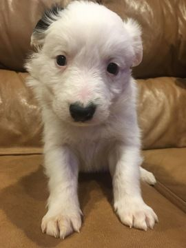 Litter of 9 Border Collie puppies for sale in EAGLE MOUNTAIN, UT. ADN-59997 on PuppyFinder.com Gender: Male. Age: 6 Weeks Old