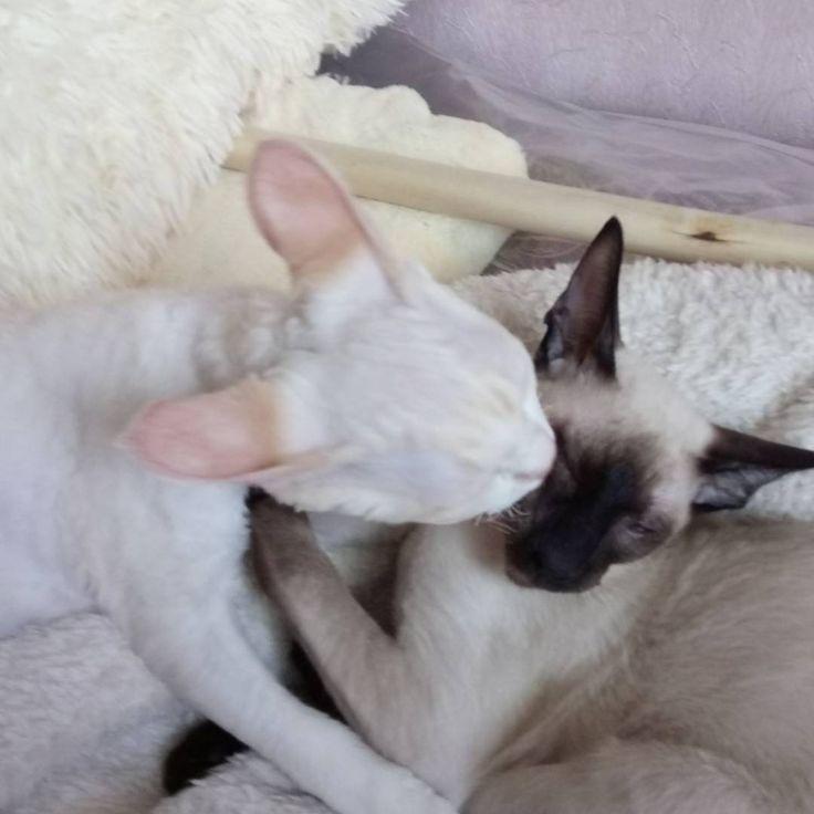 Котик девон рекс и ориентал дружат и готовы к переезду есть все прививки и документы о происзодлении #орики #ориентал #девон #кошки #котенок #сиамы #devon #kitty #kittens #kitten #izmailovo #moscou #DEVON #devonrex