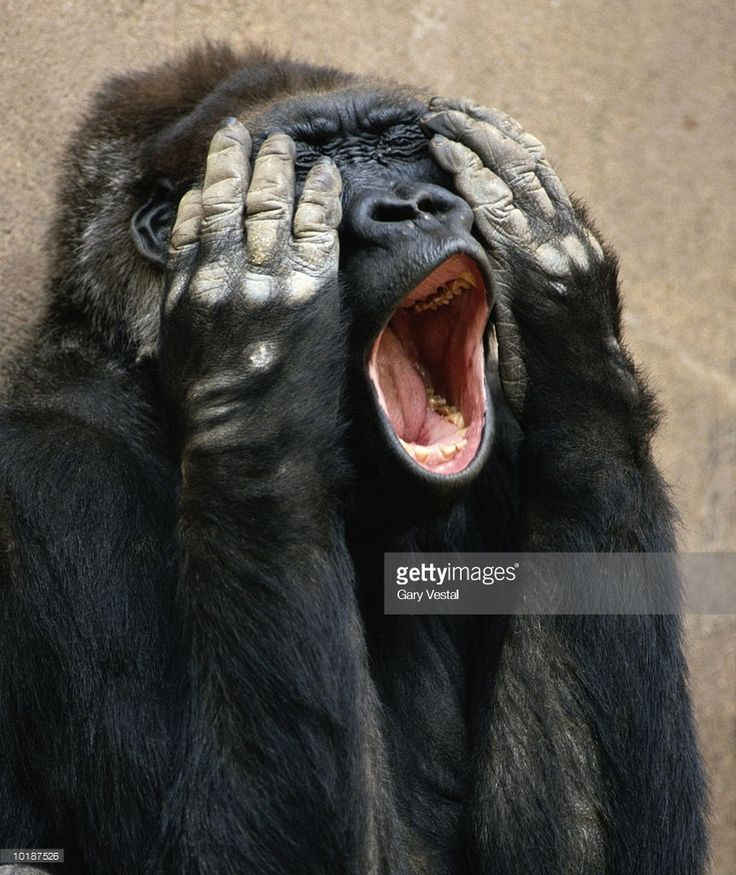 Stock Photo : FEMALE GORILLA MAKING SURPRISED EXPRESSION