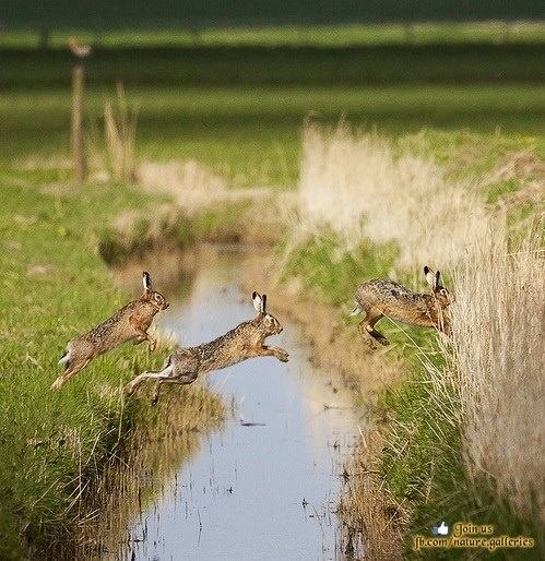 Jumping hares (Nature Gallery)