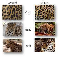 9 best big cats that roar images on pinterest roaring lion leopard httpamazonbig fandeluxe Ebook collections