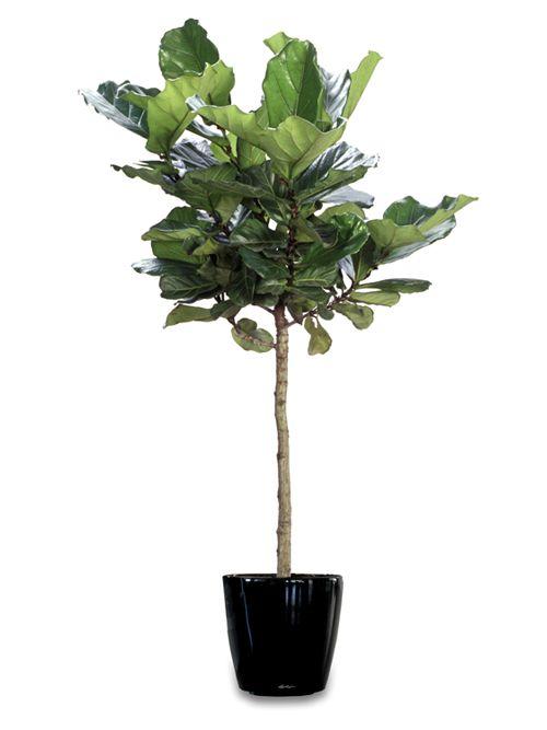 Ficus Lyrata Árbol siempre verde de hasta 20 m de altura, con la copa densa y redondeada, sin raíces aéreas, y el tronco con la corteza grisácea, lisa al principio tornándose algo rugosa con los años; ramillas gruesas, de color castaño o grisáceas, acanaladas.
