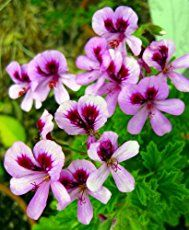 Discover which types of geraniums are most fragrant. Rose scented geranium plants, peppermint, strawberry, lemon geranium, plant care.