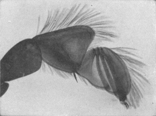 leg of whirligig beetle