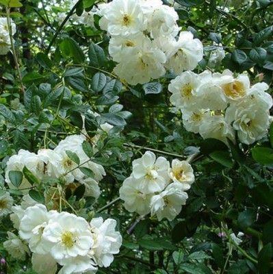 Róża pnąca 'Lykkefund' - Rosa climber 'Lykkefund' Szkółka Przytok Rośliny Ozdobne i Owocowe
