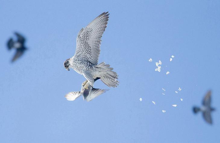 Кречет и сизый голубь