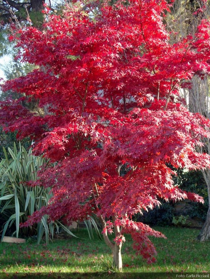 Acer palmatum ´Atropurpureum´ Has delicate, divided leaves which turn brilliant red in autumn. A fine specimen for a sheltered site in a small garden. Prune in winter only when young to remove any bad shoots. This Japanaes Maple