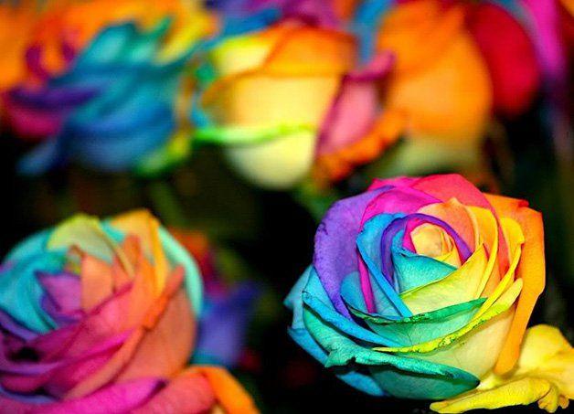 As Rainbow Roses (Rosas de Arco-Íris) ou Happy Roses (Rosas Felizes) são rosas coloridas artificialmente, que oferecem a cada pétala uma coloração diferente. O resultado é uma flor lembrando arco-íris. Como as pétalas se sustentam pelo talo da flor, a ideia foi dividi-las em vários canais, colocando-as com cores diferentes, desde o amarelo, azul, laranja, lilás, verde, rosa ou vermelho.Quando dissolvidos em água, os canais absorvem o líquido colorido, distribuindo assim as cores pelas…