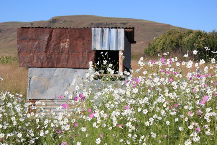 The beauty of rural KwaZulu-Natal in South Africa. (flowers: Cosmos)