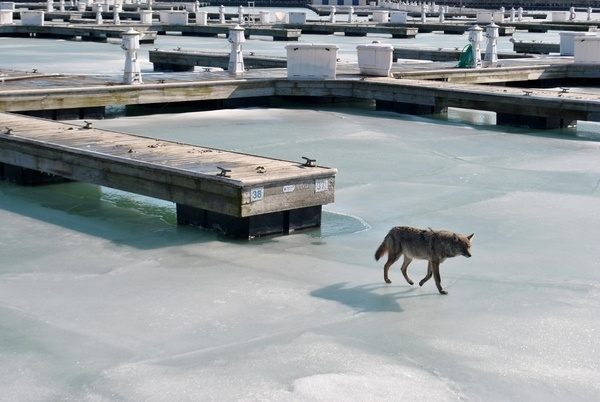 coyote at Montrose marina