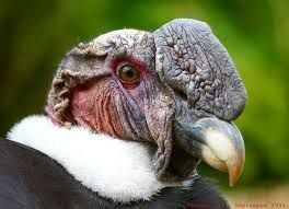 imagen de condor - Buscar con Google