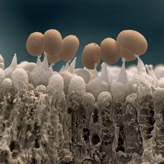 Scanning electron microscope image of mushroom spores.