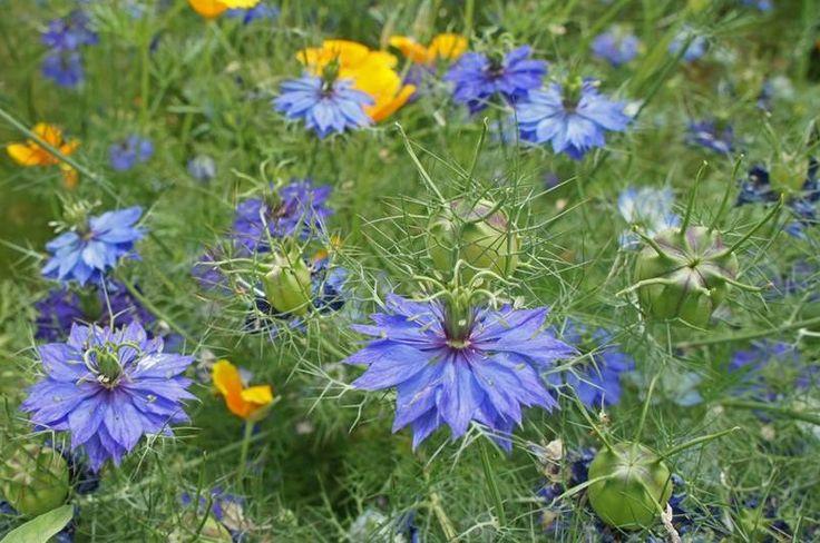 LA ARAÑUELA  Planta herbácea anual muy delicada y de bellas flores, que crece de forma espontánea en campos y terrenos baldíos, y  que se cultiva tanto para jardín como, una vez seca, para arreglos florales.
