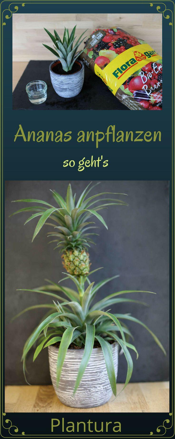 Ananas anpflanzen: Vermehrung & Anbau (Anleitung