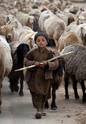 March 12, 2012 A young Pakistani shepherd escorts his herd in suburbs of Islamabad, Pakistan. B.K. Bangash/AP